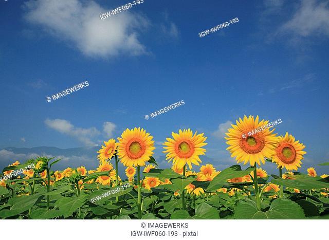 Japan, Yamanashi Prefecture, Field of sunflowers