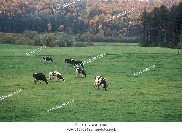 cows, fall, Marshfield, VT, Vermont, Holstein cows grazing in a pasture on a farm in Marshfield in the autumn