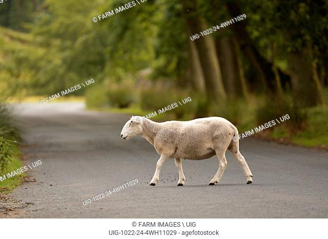 Cheviot sheep on the road in the Trough of Bowland, Lancashire, UK. (Photo by: Wayne Hutchinson/Farm Images/UIG)
