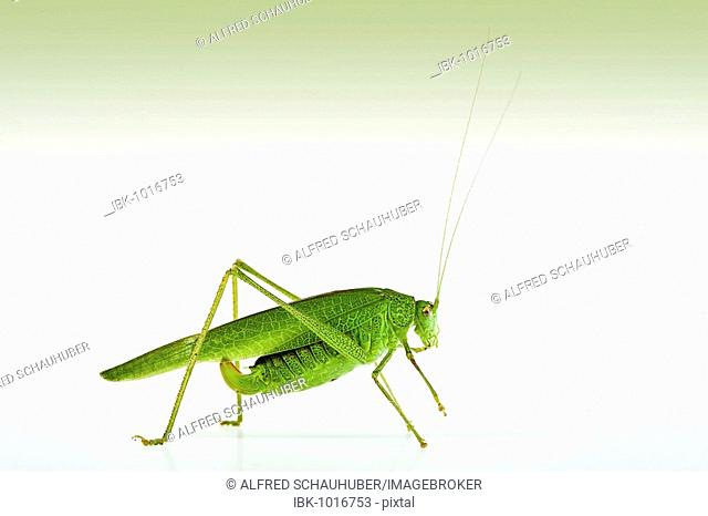 Sickle-Bearing Bush Cricket (Phaneroptera falcata)