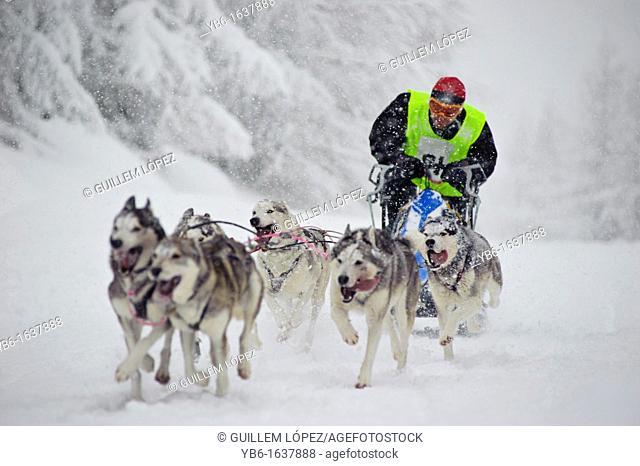 Dog Sled team racing in Jakuszyce, Poland