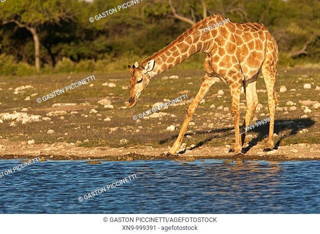 Giraffe Giraffe camelopardalis, drinking water, Etosha National Park, Namibia, Africa