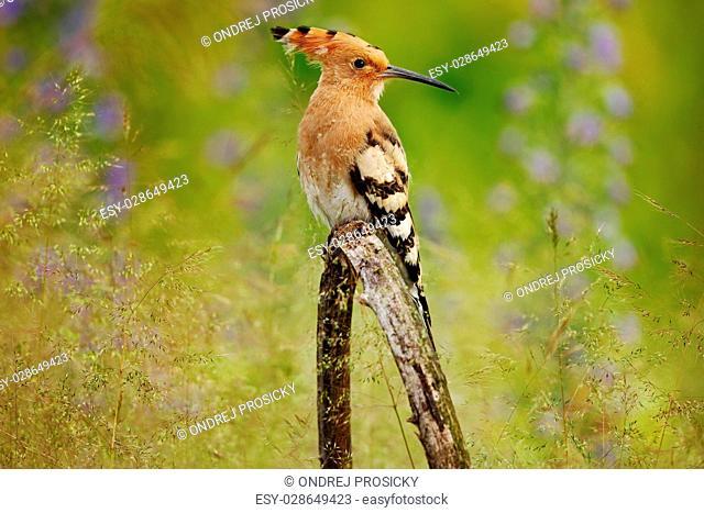Nice bird with crest Hoopoe, Upupa epops