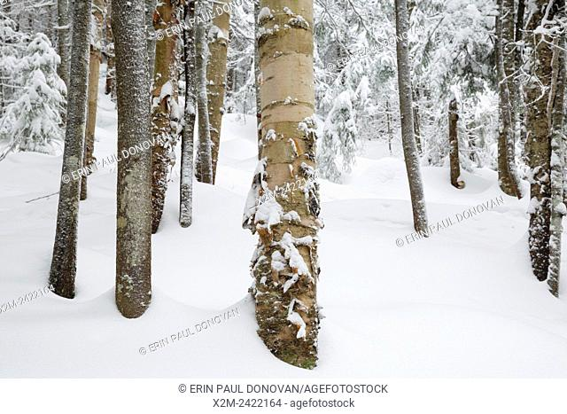 Forest on the northern slopes of Mount Jim in Kinsman Notch of Woodstock, New Hampshire USA during the winter months