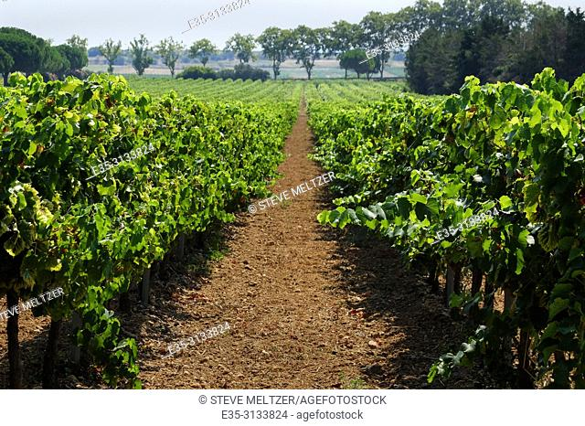 A view of the vineyard of Domaine Montrose, Tourbes, Languedoc, France