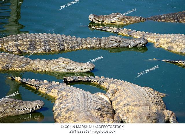 Nile Crocodiles (Crocodylus niloticus), Agatha Crocodile Ranch, Agatha, Tzaneen district, Limpopo province, South Africa