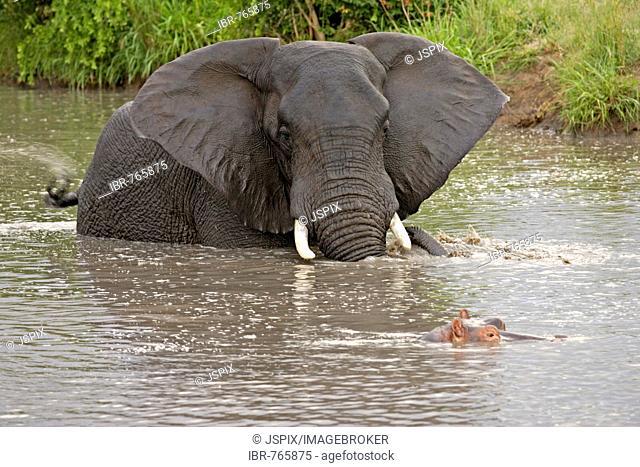 African Bush Elephant (Loxodonta africana) and a Hippopotamus (Hippopotamus amphibius) in the water, Sabie Sand Game Reserve, South Africa
