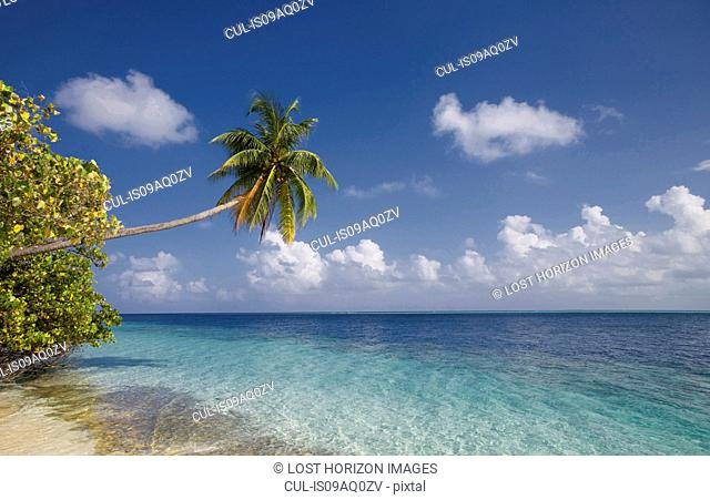 Coconut palm over a tropical sea, Vilamendhoo Island, Ari Atoll, Maldives
