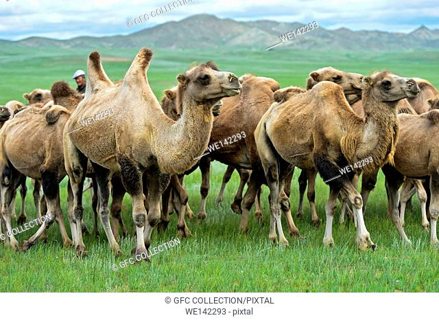 Herd of Bactrian camels (Camelus bactrianus) roaming in the Mongolian steppe, Mongolia