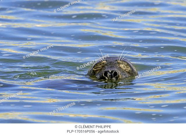 Close-up head of sleeping young grey seal / gray seal (Halichoerus grypus) floating in sea with eyes closed