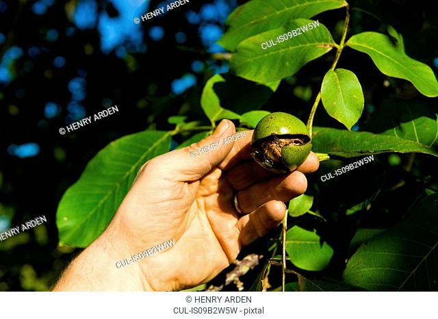 Close up of man's hand harvesting walnuts from walnut tree