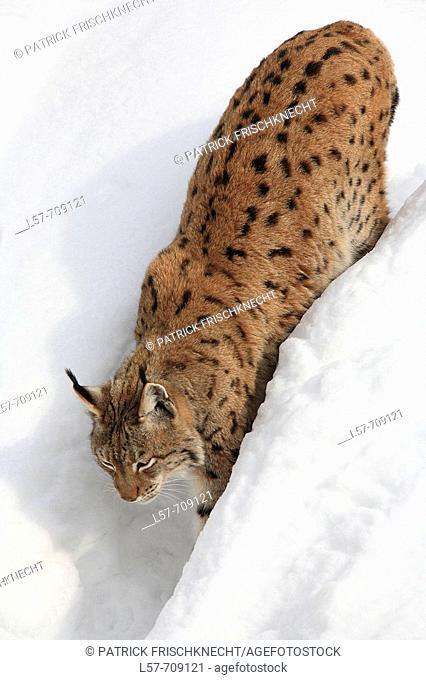 Lynx (Lynx lynx). National Park Bavarian Forest. Germany