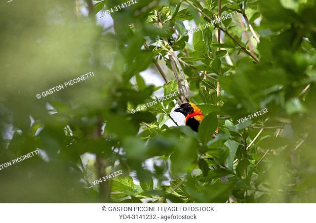 Southern Red Bishop (Euplectes orix), Windhoek, Namibia