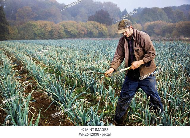 A man lifting and trimming organic leeks in a field