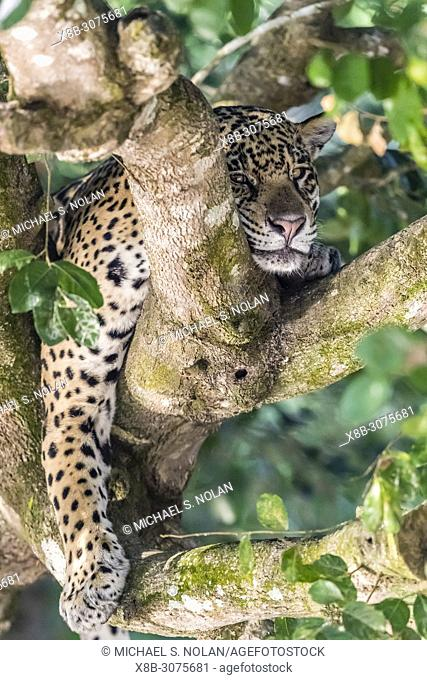 An adult jaguar, Panthera onca, sleeping in a tree on the Rio Tres Irmao, Mato Grosso, Brazil