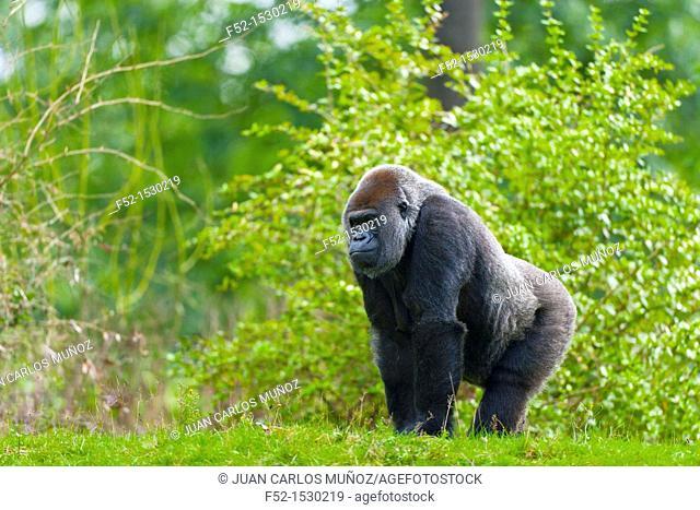 LOWLAND GORILLA Gorilla gorilla gorilla