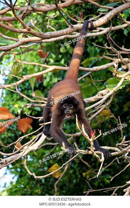 Black-handed Spider Monkey (Ateles geoffroyi) male calling, Osa Peninsula, Costa Rica