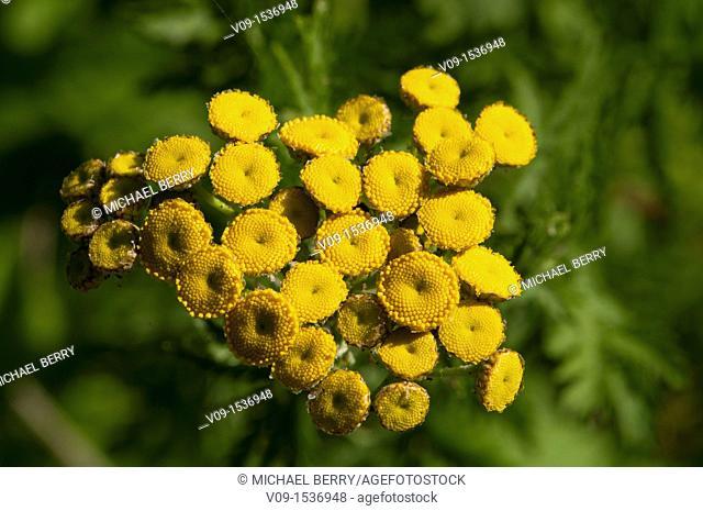 Common Tansy (Tanacetum vulgare), Willamette Valley, Oregon, USA