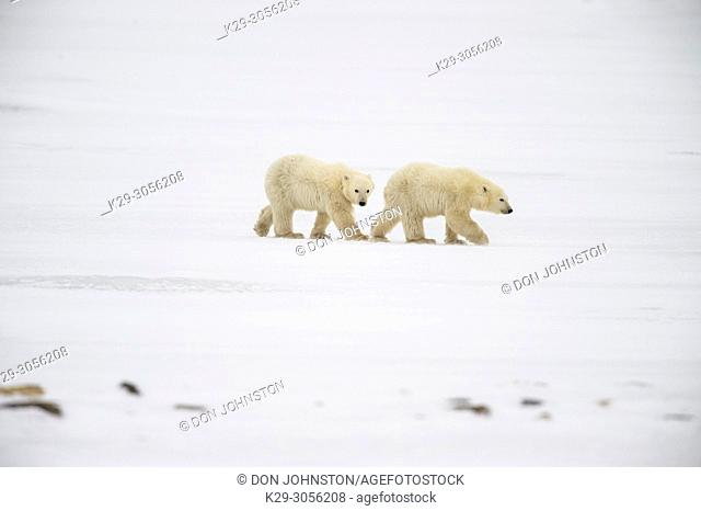 Polar Bear (Ursus maritimus) Yearling cub and mother near Hudson Bay coast, Wapusk NP, Cape Churchill, Manitoba, Canada