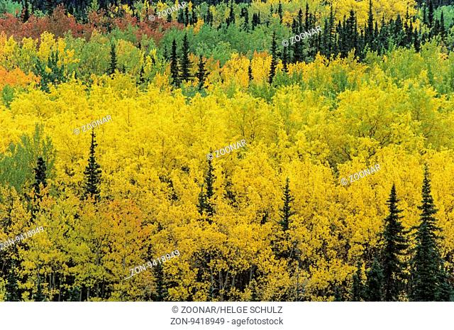 Zitterpappeln im Herbst in einem Tal / Quaking Aspen in fall in a valley / Denali Nationalpark - Alaska
