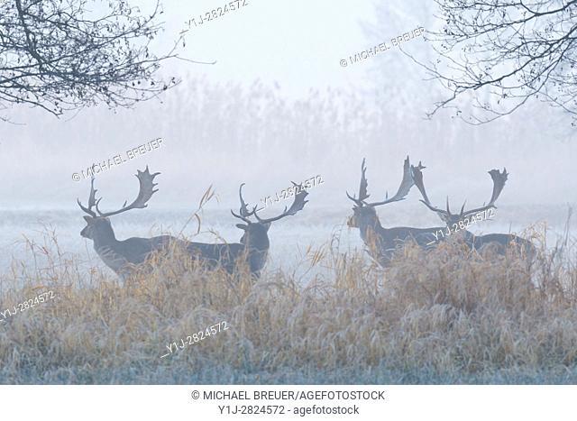 Herd of Fallow Deers (Cervus dama) on misty morning, Hesse, Germany, Europe