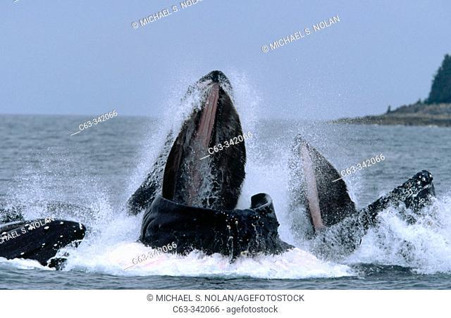 Humpback Whales (Megaptera novaeangliae). Alaska. USA