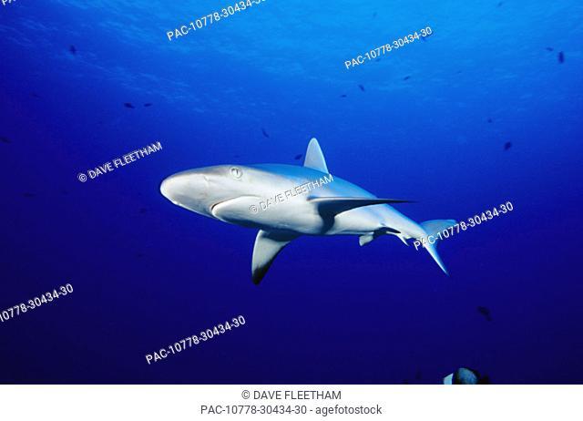 Hawaii, Gray Reef Shark (Carcharhinus amblyrhynchos) in clear blue ocean water