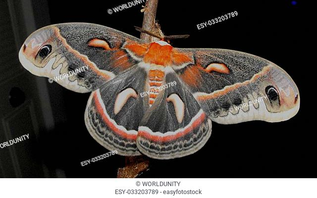 Cecropias are the largest North American moth. They are common but seldom seen because they are active late at night