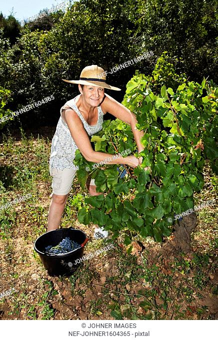 Smiling mature woman picking red grapes