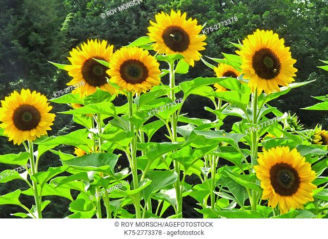 Helianthus or sunflowers