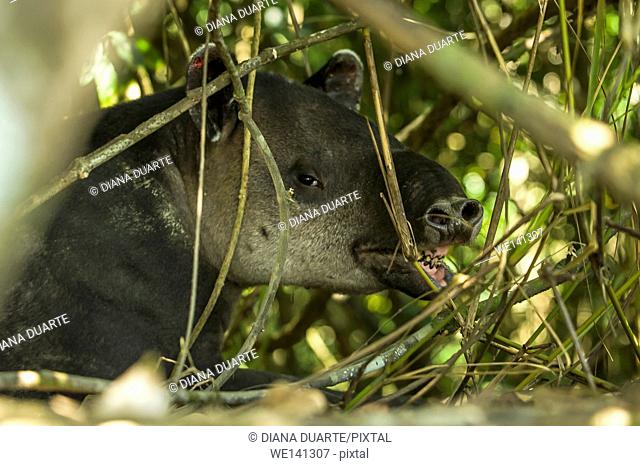 """""""""""Tapir"""" (Tapirus Bairdii), Tapirs have become an important symbol of preservation because they thrive in primary forests"
