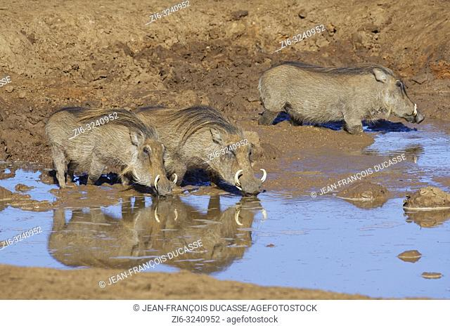 Common warthogs (Phacochoerus africanus), three adults in muddy water, drinking at a waterhole, Addo Elephant National Park, Eastern Cape, South Africa, Africa