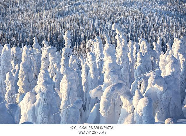 Frozen forest, Riisitunturi National Park, Posio, Lapland, Finland