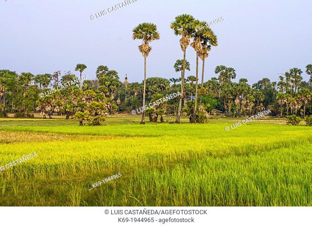 Rice Fields. Siem Reap. Cambodia