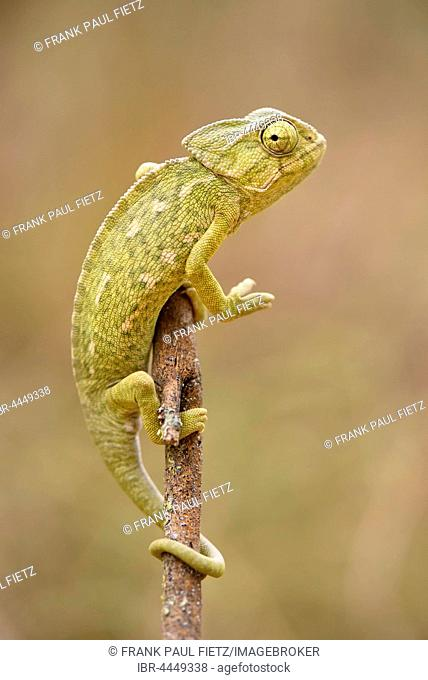 Ordinary or European Chameleon (Chamaeleo chamaeleon), Algarve, Portugal