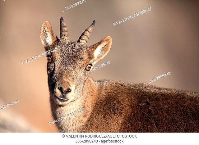 mountain goat female (Capra pyrenaica) in the natural park Els Ports. Tarragona