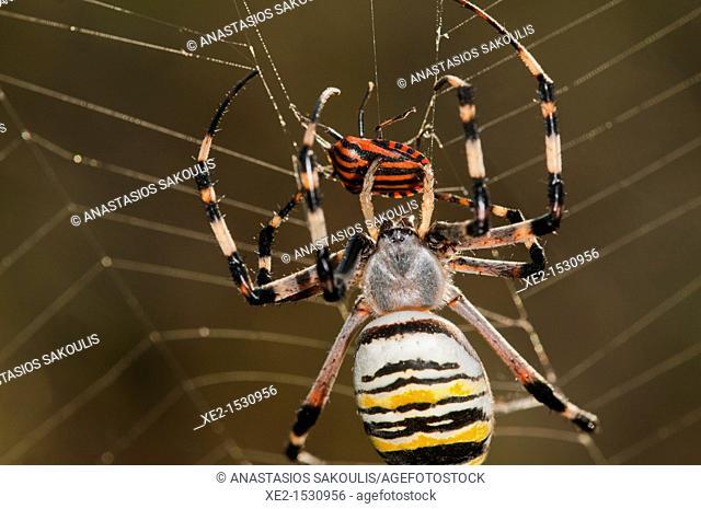 Argiope bruennichi, or the wasp spider, Crete
