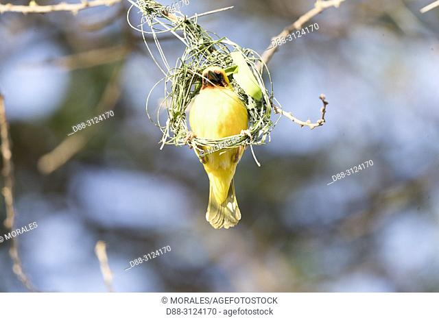 Africa, Ethiopia, Rift Valley, Ziway lake, Village weaver (Ploceus cucullatus), building the nest