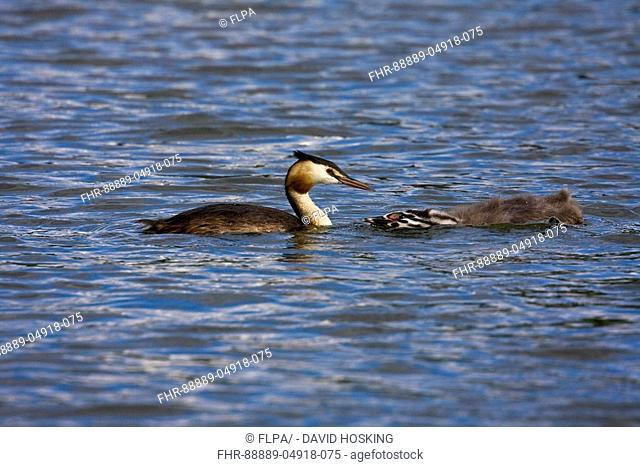 Adult Great Crested Grebe with young juvenile begging for food