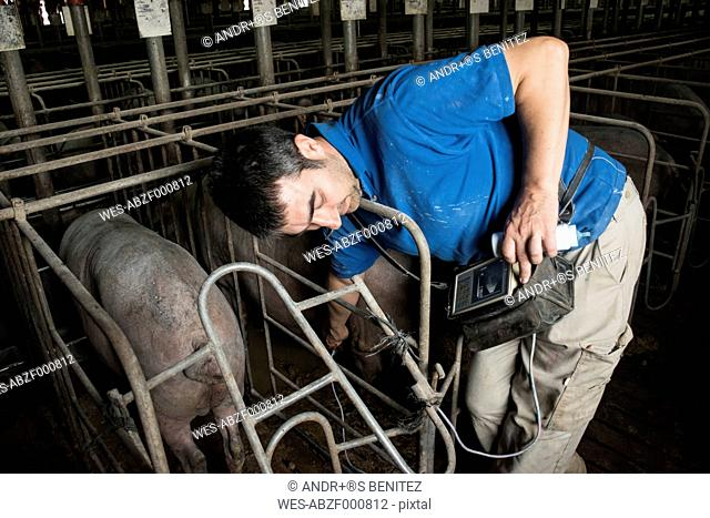 Salamanca, Spain, Pig farmer checking pregnancy of an iberian pig with an ultrasound device