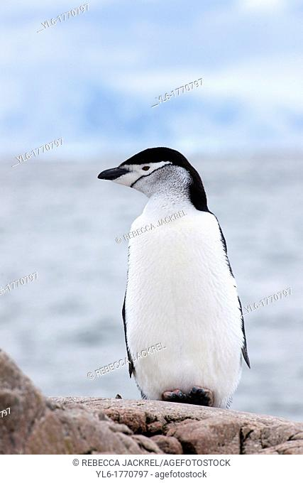 A chinstrap penguin Pygoscelis antarcticus rests on a rock overlooking the ocean at Aitcho Islands, Barrientos, Antarctic Peninsula