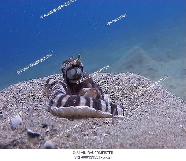 Mimic octopus Thaumoctopus mimicus. unique antipredator behaviour. Naama Bay, Red Sea