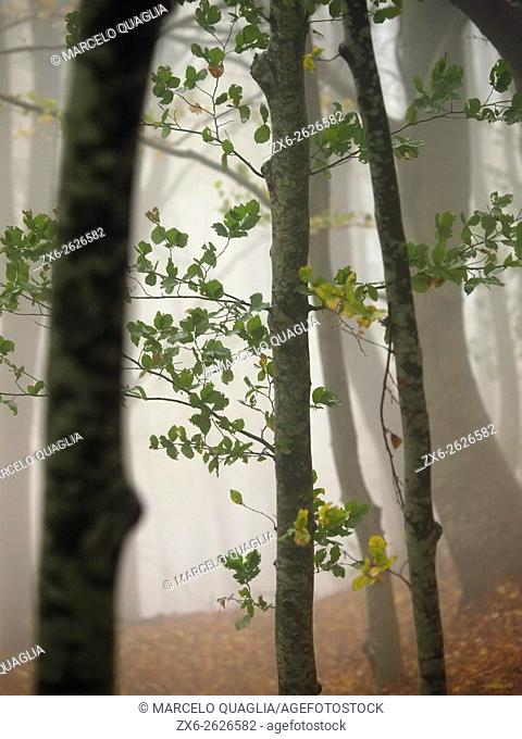 Autumn foggy beech forest (Fagus sylvatica). Montseny Natural Park. Barcelona province, Catalonia, Spain