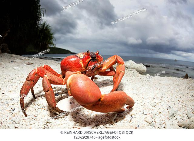 Christmas Island Red Crab at Ethel Beach, Gecarcoidea natalis, Christmas Island, Australia