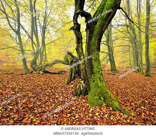 Ruin of an old beech tree in a former wood pasture, Sababurg, Reinhardswald, North Hesse, Hesse, Germany