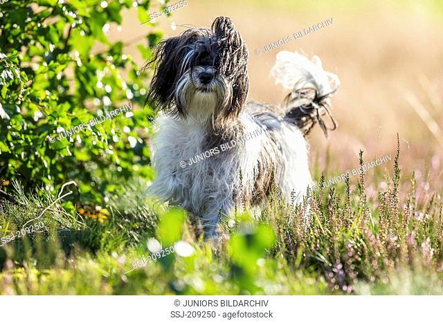 Biewer Terrier. Adult bitch standing in flowering Heath. Germany
