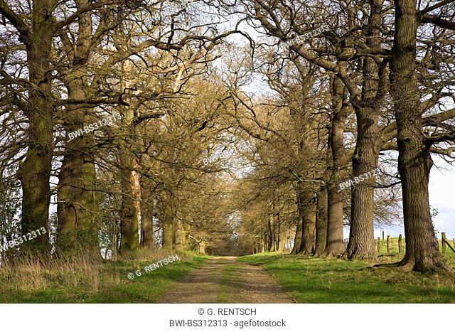 oak (Quercus spec.), oak alley, Germany, Hesse, Beberbeck