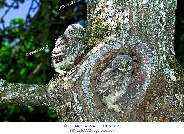 Little Owl, athene noctua, Young standing at Nest Entrance, Normandy