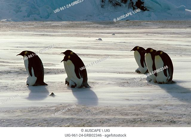 Emperor penguin, Aptenodytes forsteri, fathers with chicks on feet, spindrift around them, Antarctica. (Photo by: Auscape/UIG)