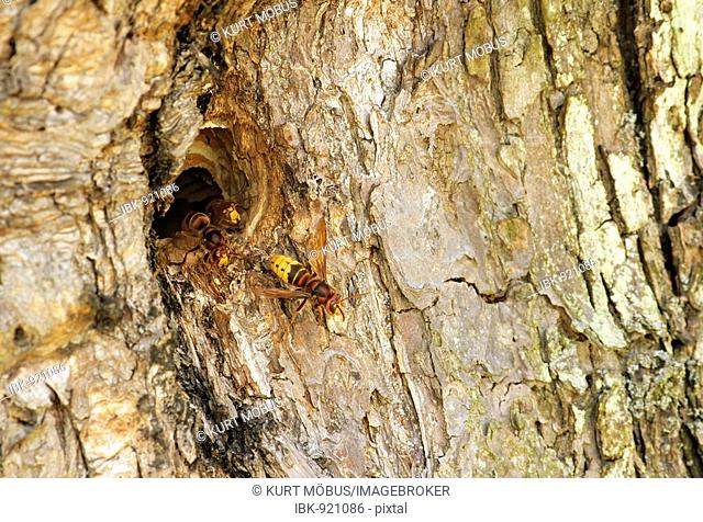 European Hornets (Vespa crabro) at the entrance to their nest in a fruit tree